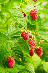 Several ripe red  raspberries growing