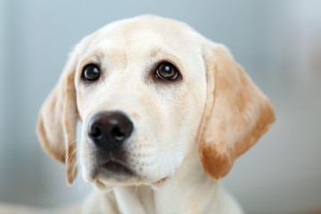 Beautiful Labrador retriever in the room, close up