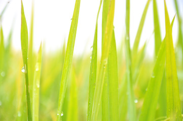 Defocused of paddy plant leaves with sparkling morning dew.