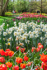 Fototapete - Multicolored Spring Flowers in Keukenhof Garden, Netherlands