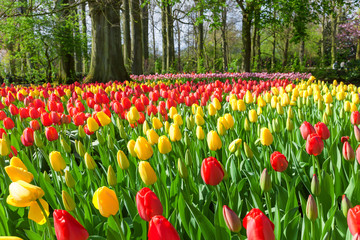 Fototapete - Red and Yellow Tulips in Keukenhof Garden, Netherlands