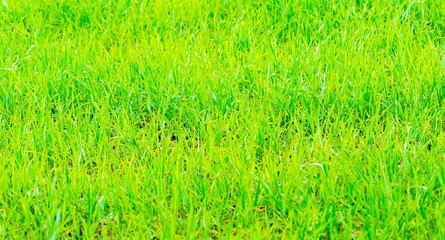 Close up of young green rye field
