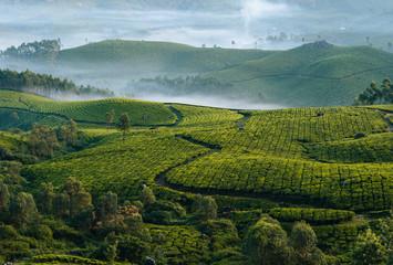 Morning foggy tea plantation in Munnar, Kerala, India. Wall mural