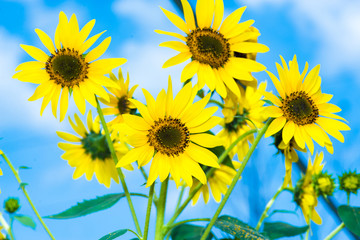 Blooming field of a sunflowers.