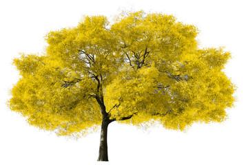 Big Yellow Tree on White Background