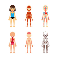 Female body anatomy. Circulatory system and skeleton, digestive system and nervous system. Vector illustration.