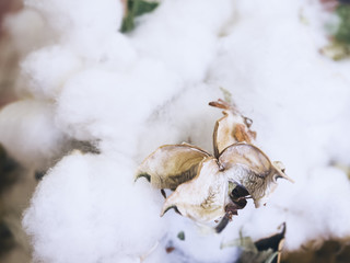 Cotton Plant Flower Organic Raw Material for textiled