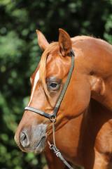 Head shot of a young arabian stallion at horse farm