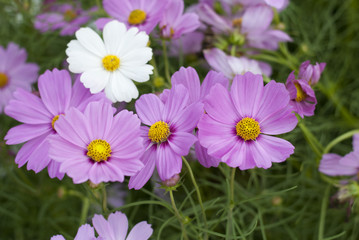 Cosmos with various shades of purple