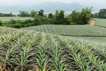 Pineapple fruit farm