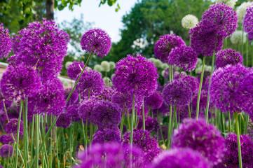 Allium flowers in a flower bed