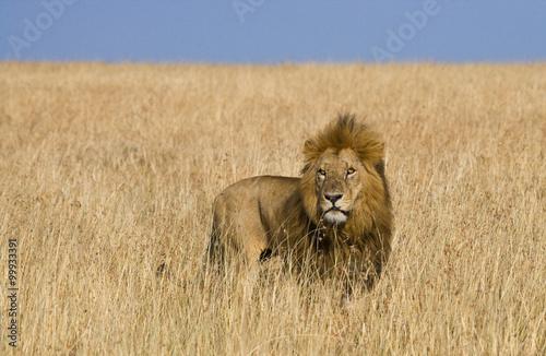 Big male lion in the savanna. National Park. Kenya. Tanzania. Maasai Mara. Serengeti. An excellent illustration.