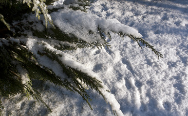 Snow and frost on green thuja.