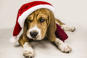Beagle puppy in a Santa hat and scarf