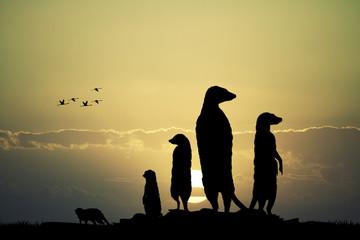 Meerkats silhouette at sunset