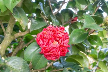 Camellia (Bobby Fain)