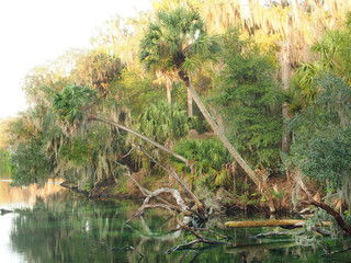 Sable Palms Hang Over the Spring as the Sun Rises