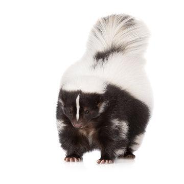 skunk standing on white