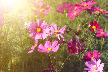 Pink flowers in the garden with sunlight