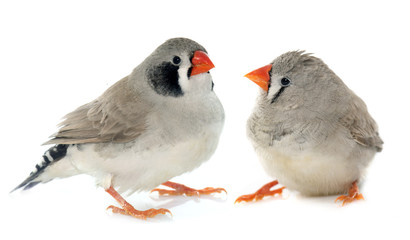 Wall Mural - couple Zebra finch