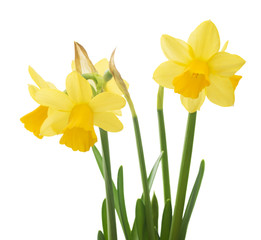 Fototapeten Narzisse Spring floral border, beautiful fresh narcissus flowers, isolated on white background
