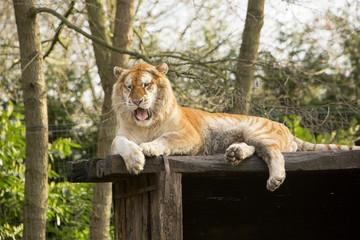 Aluminium Prints Tiger Goude tijger gapt.