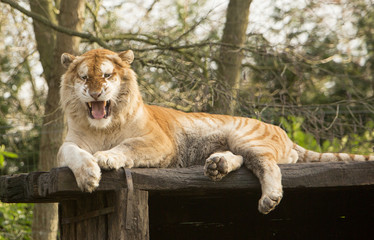 Acrylic Prints Tiger Goude Bengaalse tijger gromt.