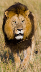 Portrait of a male lion. Kenya. Tanzania. Maasai Mara. Serengeti. An excellent illustration.