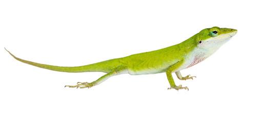 The lizard  Northern Green Anole (Anolis carolinensis carolinens Wall mural
