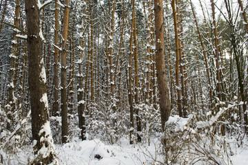 Fototapeta Зима в сосновом лесу obraz