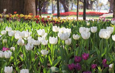 Fototapeta beautiful tulips field in garden obraz