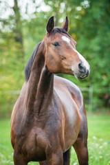 Fototapete - Portrait of beautiful warmblood horse