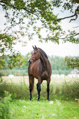 Wall Mural - Beautiful warmblood horse standing on the field in summer