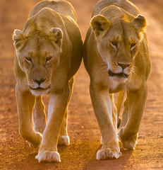 Fototapete - Two lionesses walking on the road in the national park. Kenya. Tanzania. Maasai Mara. Serengeti. An excellent illustration.