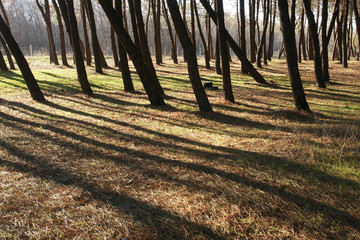 pine forest 9