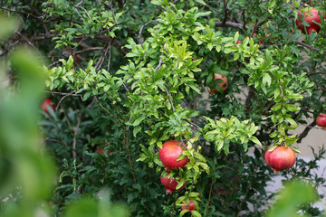 Beautiful pomegranate tree