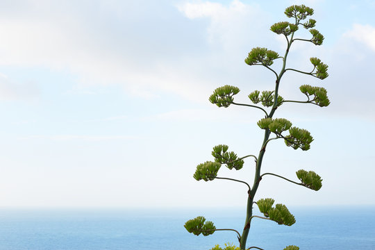 Agave flower and plant with mediterranean sea view
