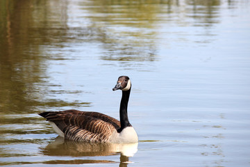 canadian goose swimming in pond nature wildlife
