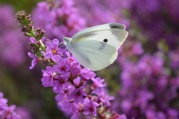花とモンシロチョウ/山形県庄内地方の草原で、モンシロチョウを撮影した写真です。紫色の花はミソハギという多年草の花で、ちょうど旧暦のお盆の頃に咲き、仏前に供えられるのでボンバナ(盆花)とも言われます。