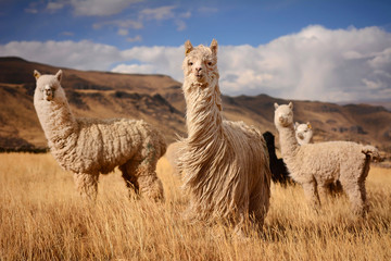 Photo sur Aluminium Lama Llamas (Alpaca) in Andes,Mountains, Peru