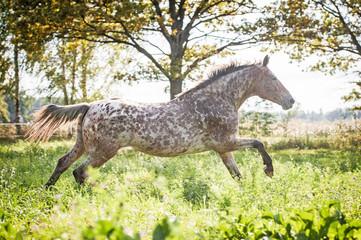 Fototapete - Appaloosa horse running on the field in summer