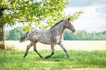 Wall Mural - Appaloosa horse running trot on the field in summer
