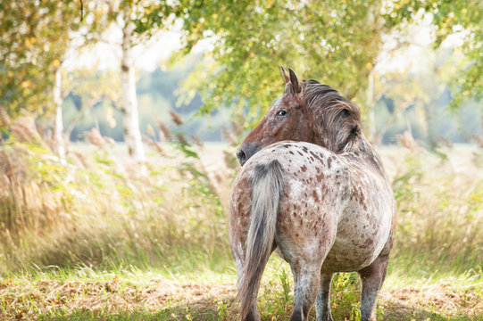Portrait of beautiful appaloosa horse looking back in summer