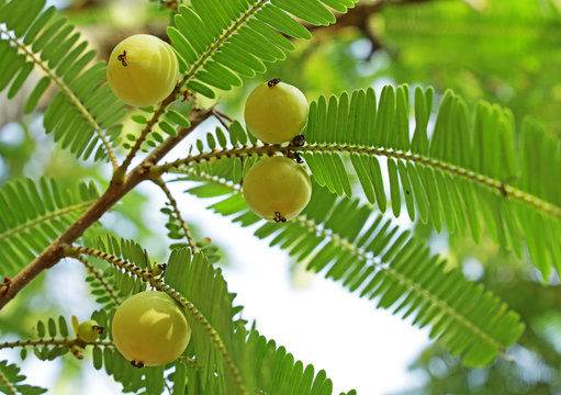 Fruits of Indian gooseberry (Phyllanthus emblica). Also called aamla in Hindi. Indian gooseberry is an essential ingredient of traditional Indian Ayurvedic (herbal) medicines.