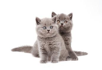 Wall Mural - Two little british kittens