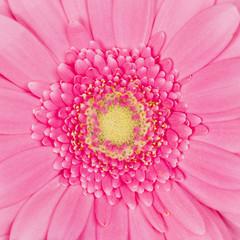 beautiful pink flower gentle gerbera