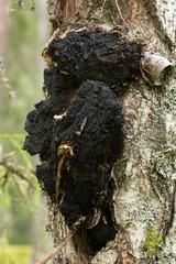 Chaga mushroom, Inonotus obliquus growing on birch tree