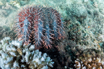 Sea star crown of thorns