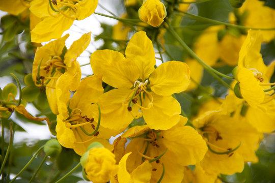 Yellow flower acacia farnesiana