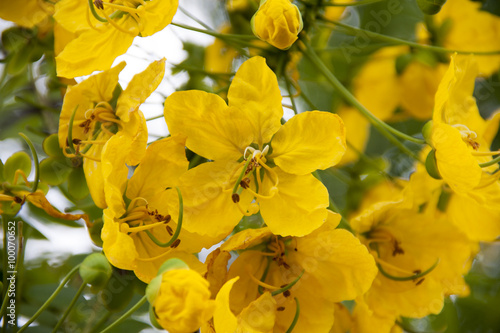 Yellow Flower Acacia Farnesiana Stock Photo And Royalty Free